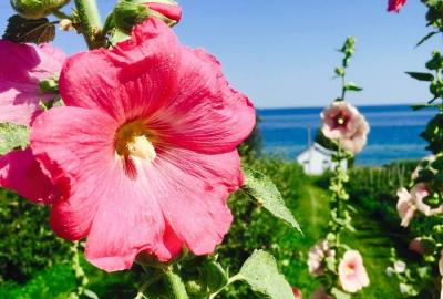 Hollyhock in Prince Edward County, Ontario